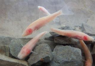 سطح غار ماهی کور لرستان افزایش یافت