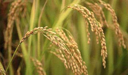 برنج با طعم فاضلاب در دورود