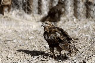 """پرنده شکاری """"دودوک"""" مهمان دائم حیات وحش لرستان شد"""