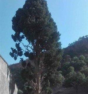 درخت کهنسال «اَوِرس» در منطقه بزنوید الیگودرز ثبت ملی شد