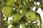 فصل برداشت سیب پاییزه در بروجرد