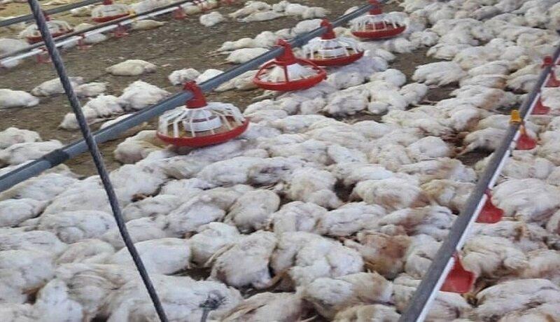 مرغداری که مرغ های مرده را در شهر دورود پخش می کرد، دستگیر شد